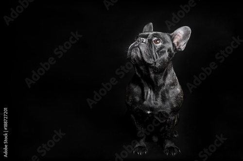 Spoed Foto op Canvas Franse bulldog Black French Bulldog looking up, begging on the black background