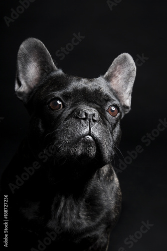 Poster Crazy dog Black French Bulldog waiting and looking on the black background