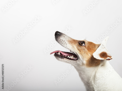 Photo  The dog of Russel Terrier waiting and staring
