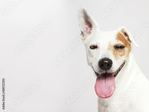 The dog of Russel Terrier smiling and looking Wallpaper Mural