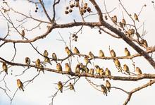 Cedar Waxwing Birds Resting. A...