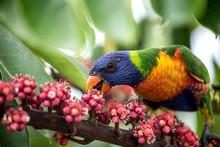 Close Up Of A Colourful Rainbow Lorikeet Bird Feeding On Pink Flowers In Australia