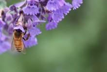 Honeybee Close-up