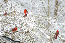 Red Cardinals Cover A Snowy Ro...
