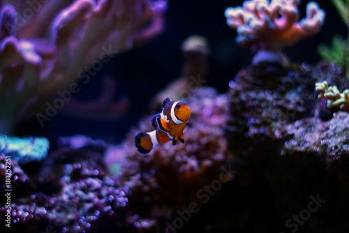 Plakat Clownfish w akwarium rafy koralowej
