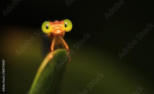 Fotografía Small red dragonfly