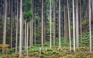 杉林の風景
