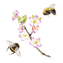 Hand Drawn Watercolor Painting Bumblebees Flying Around A Blooming Branch