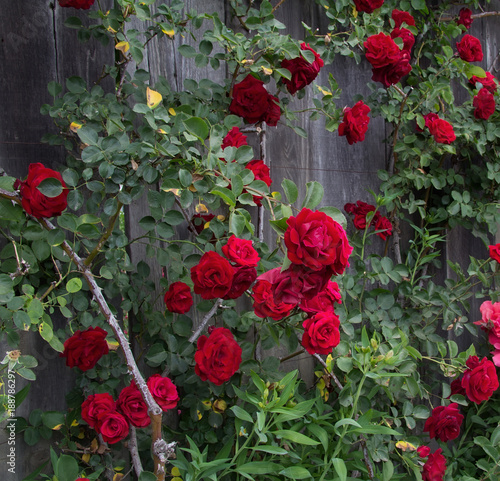 Fotografie, Obraz  Climbing red roses at old fence background