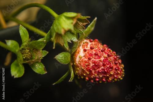 Fotografie, Obraz  lose-up of strawberry diseased in the garden