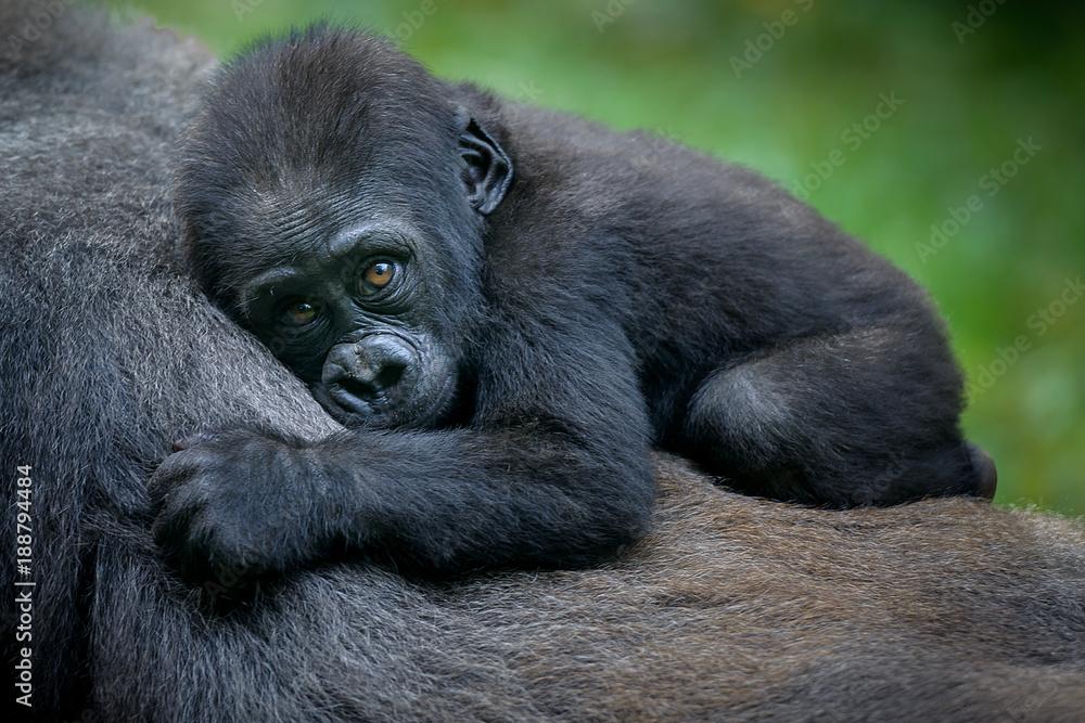 Fototapeta A gorilla baby