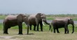 Three African Elephants Waiting; Amboseli Day 2; Amboseli, Kenya, Africa