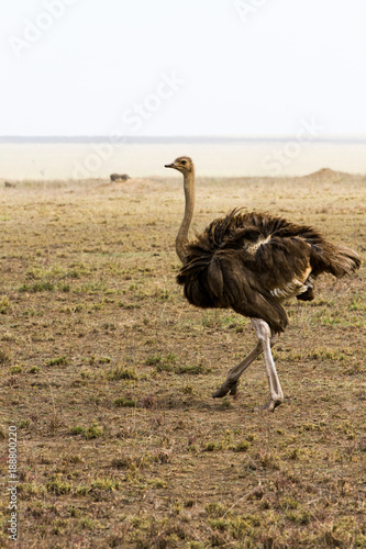 In de dag Struisvogel The ostrich or common ostrich (Struthio camelus) is either one or two species of large flightless birds native to Africa, the only living member(s) of the genus Struthio, which is in the ratite family