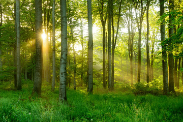 FototapetaNatural Forest of Beech Trees illuminated by Sunbeams through Fog