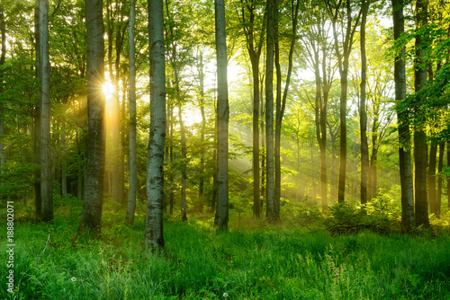 Fototapeten Wald Natural Forest of Beech Trees illuminated by Sunbeams through Fog