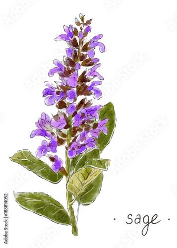 Fototapeta Wild plant sage hand drawn in color. Herbal vector illustration. obraz