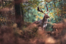 Fallow Deer Buck With Big Antl...