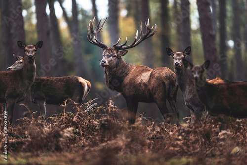 Aluminium Prints Deer Red deer stag with hinds in autumn forest. North Rhine-Westphalia, Germany