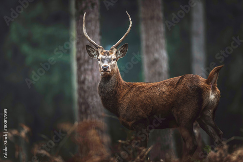 Red deer with pointed antlers in autumn forest. North Rhine-Westphalia, Germany