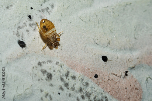 Papel de parede  Dead cimicidae. Bed bug home macro on the wall