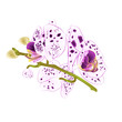 Beautiful dots Orchid purple and white stem with flowers and buds closeup isolated vintage vector illustration editable hand draw