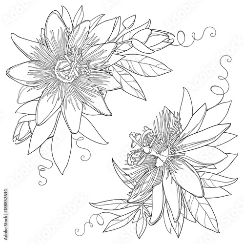 Vector Bunch With Outline Tropical Passiflora Or Passion Flower
