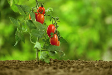 Cherry Tomatoes On The Plant, ...