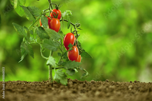 cherry tomatoes on the plant, close-up