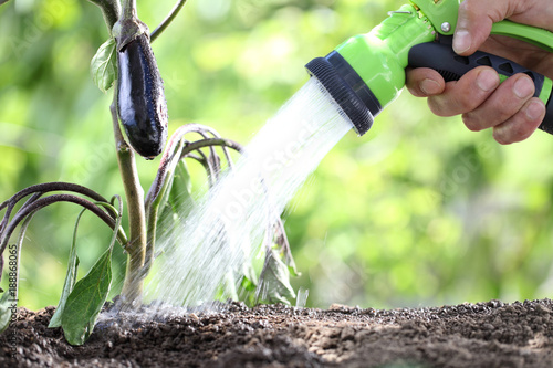 hand watering plants. eggplant in vegetable garden. close up