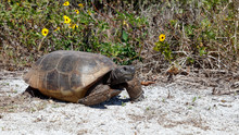 Turtle, Gopher Tortoise (Gophe...