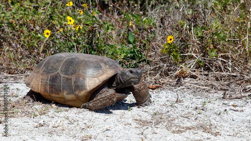 Turtle, gopher tortoise (Gopherus polyphemus) walking in the sun, Sanibel Island Wallpaper Mural