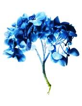 Blue Hydrangea Flowers With Stem