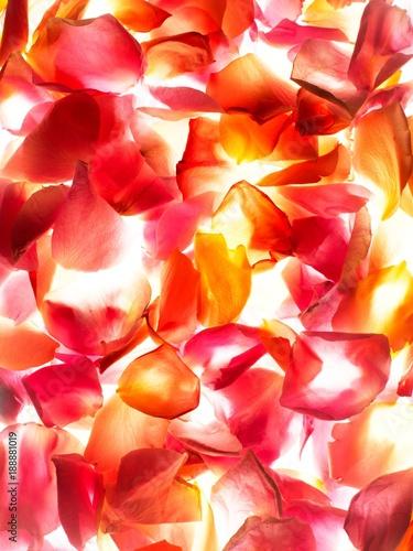Backlit pink rose petals