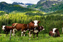 Cows On Tour Du Mont Blanc Tre...