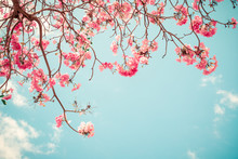 Beautiful Sakura Flower (cherry Blossom) In Spring. Sakura Tree Flower On Blue Sky. Vintage Color Tone