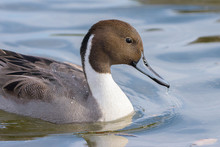 Northern Pintail Male Swimming...