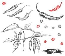 Hand Drawn Illustration Set Of Chili Pepper, Capsicum, Branch, Leaf. Sketch. Vector Eps 8