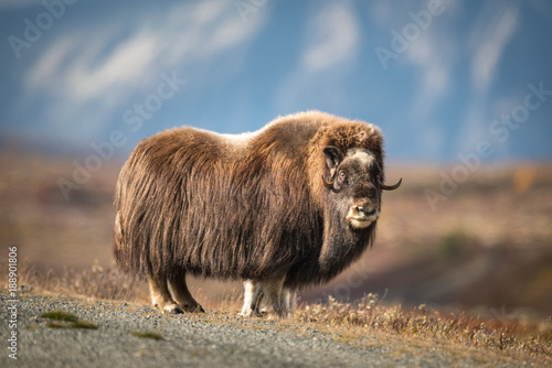 Musk ox at Dovre mountain in Norway Wallpaper Mural