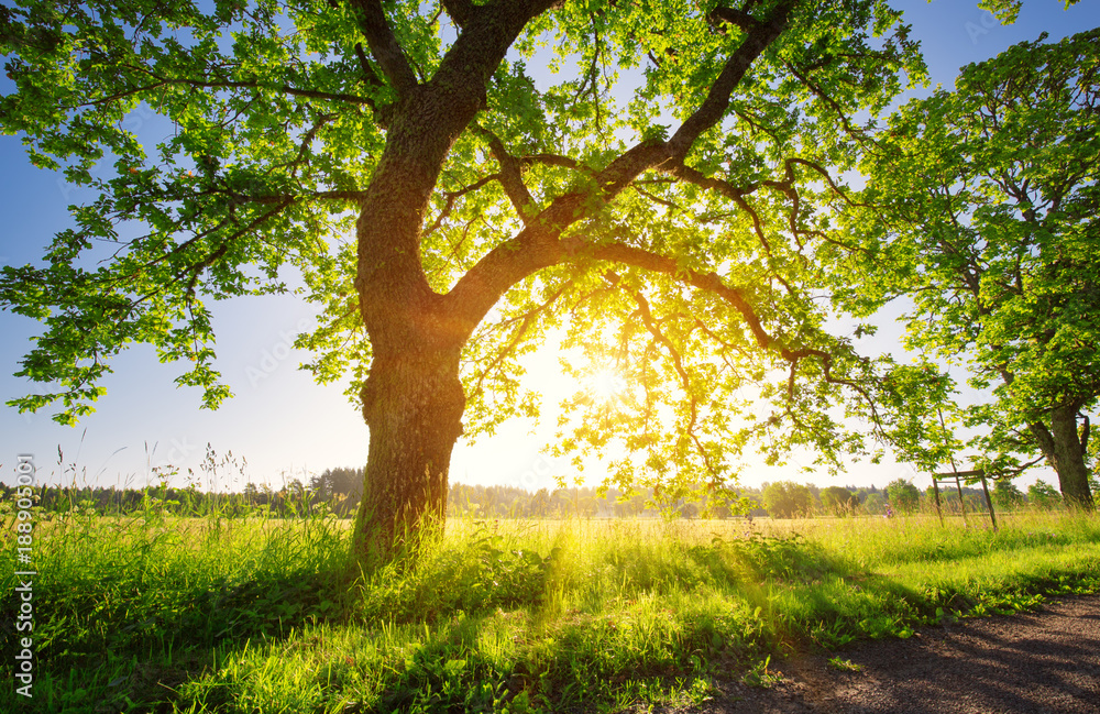 birch tree foliage in morning light with sunlight. Sunrise on the field