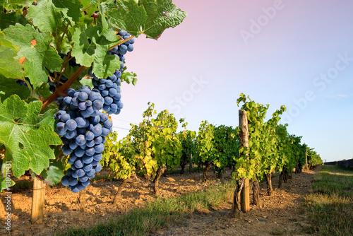 Leinwand Poster Grappe de raisin et vigne, paysage de France