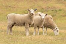 Cute Sheep On Glass Field, Far...