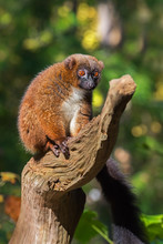 Adult Female Red-bellied Lemur...