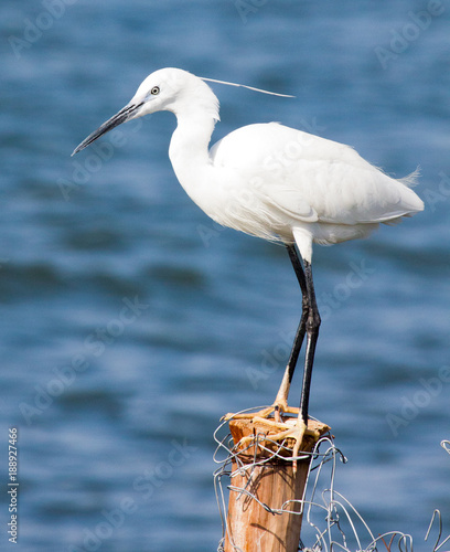 Photo Little egret standing on fence post