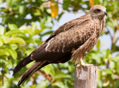 Photo  Black kite perched on a fence post