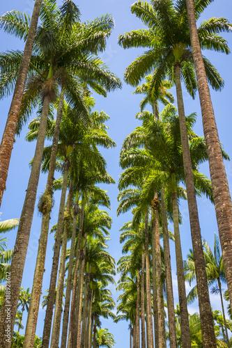 Avenue of tall royal palm trees soar into bright blue tropical sky in Rio de Janeiro, Brazil Wall mural