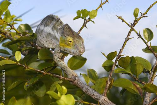 Poster Chamaleon Pantherchamäleon (Furcifer pardalis) - Panther chameleon / Insel Nosy Faly / Madagaskar
