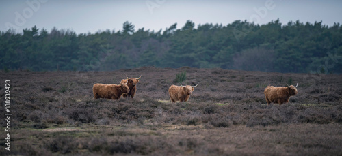 Cadres-photo bureau Vache de Montagne Group of highland cattle in heather landscape in winter.