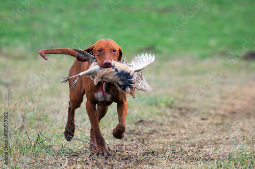 Spoed Foto op Canvas Jacht Hungarian vizsla and pheasant hunting