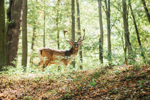 Beautiful Deer With Branched H...