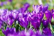 canvas print picture - Frühlingserwachen, Ostergruß, Blütenzauber, Alles Liebe, Blütenmeer, Glück, Freude: Wiese mit zarten Krokussen :)